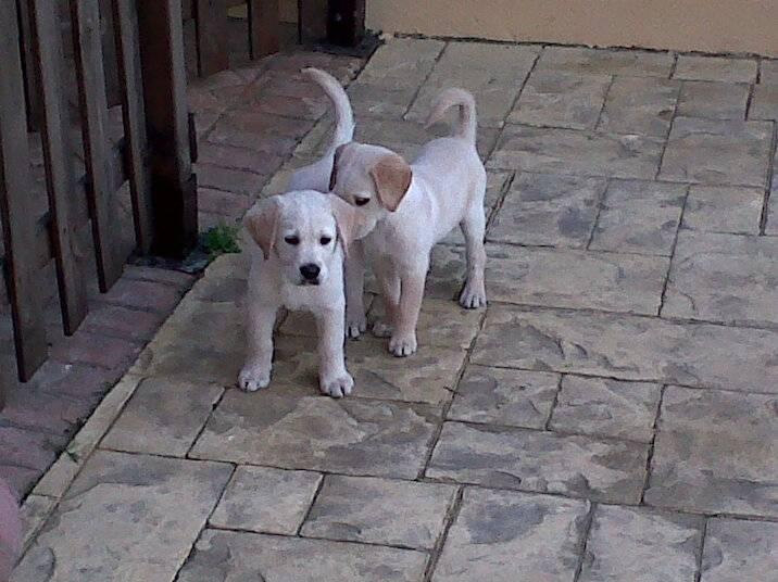 Cachorros labradores - Labrador Mâle (3 mois)
