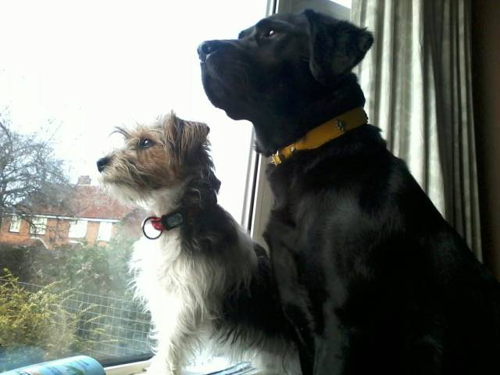 katie and stella - Labrador (4 ans)