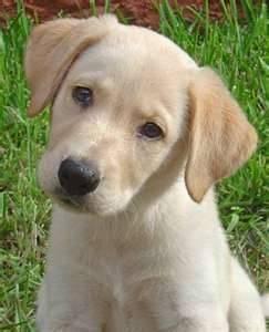 coco - Labrador Mâle (7 mois)