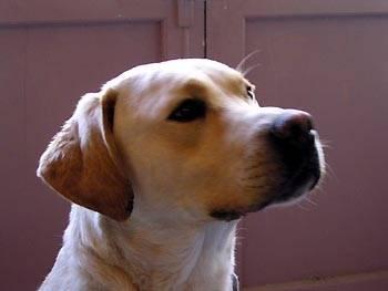 onyx - Labrador Mâle (6 ans)