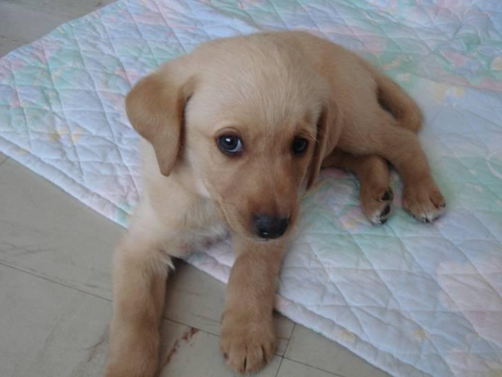 O'neil - Labrador Mâle (3 mois)