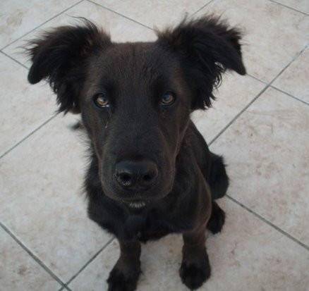 Zeus - Labrador Mâle (1 an)