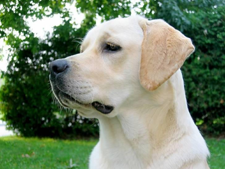 twister - Labrador Mâle (6 ans)