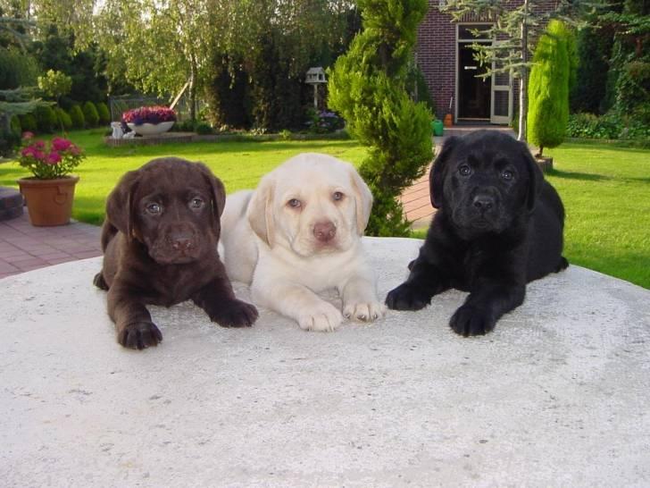 chocolat,shadow,victoire - Labrador (5 mois)
