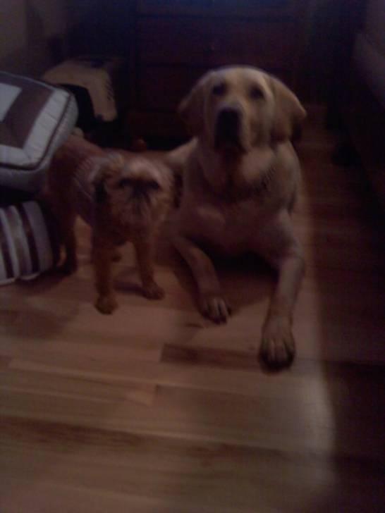 zane and lily - Labrador Mâle (8 ans)