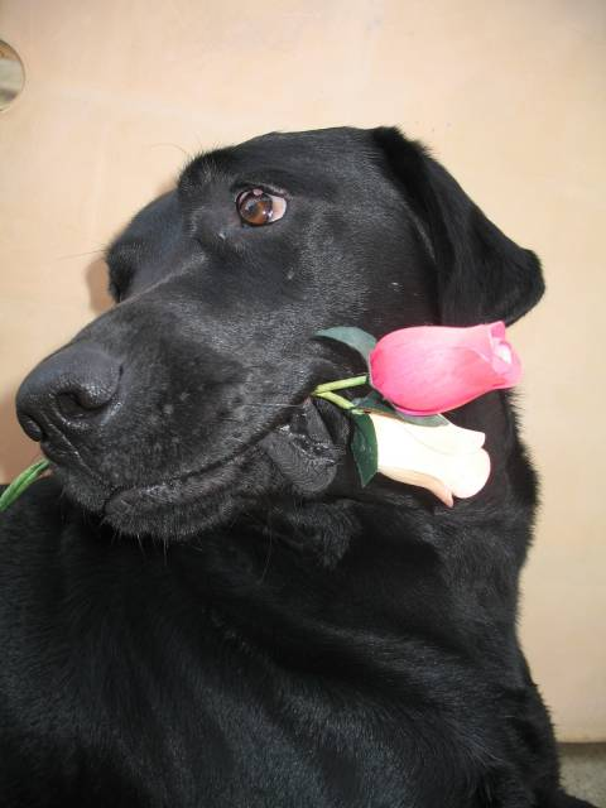 Onyx - Labrador Mâle (3 ans)