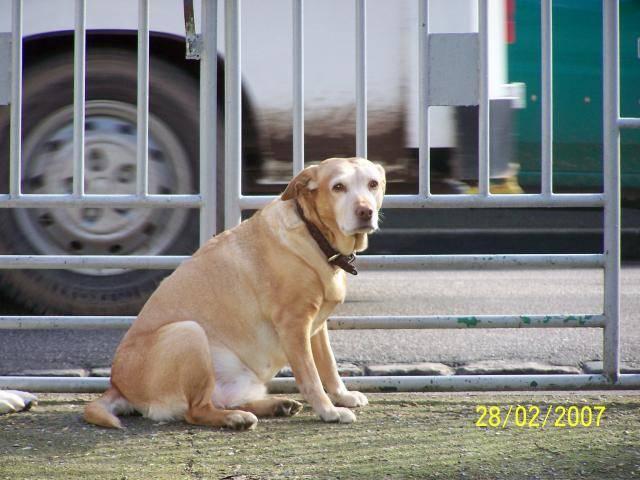olgane croisee labrador - Labrador