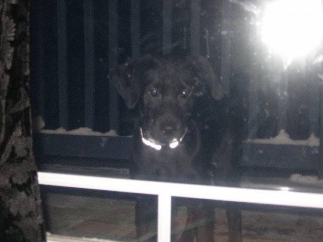 Zack - Labrador Mâle (6 mois)