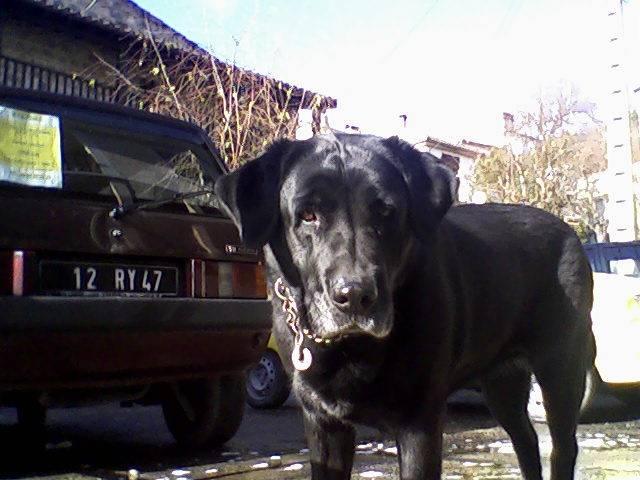 labrador ellie - Labrador