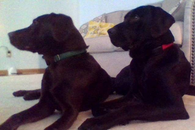 Gema (Left) Gage (Right) - Labrador Mâle (6 ans)