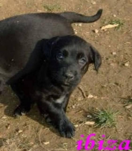 ibiza - Labrador (2 mois)