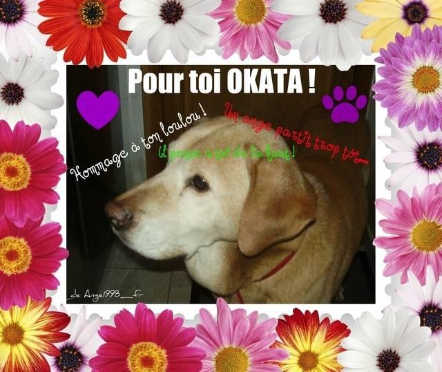 okata - Labrador Mâle (12 ans)