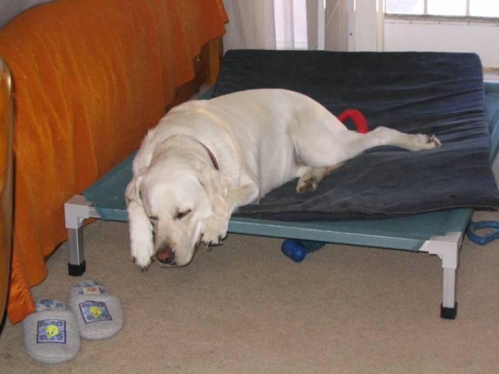 Ollie - Labrador (7 ans)