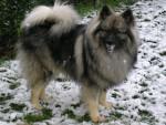 Shiro - Spitz Loup Mâle (12 ans)