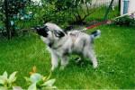 Shiro (bébé) - Spitz Loup Mâle (10 mois)