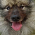 Regard de Spitz-loup - Spitz Loup