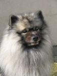 Ursa Wellington of Bloom White - Spitz Loup