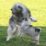 Jeux de Spitz-loups - Spitz Loup