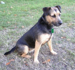 Photo Patterdale Terrier