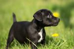 Photo Patterdale Terrier