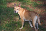 Photo Carolina Dog