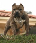 tessa - Pitbull (5 mois)