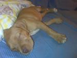Delilah - Pitbull (5 mois)
