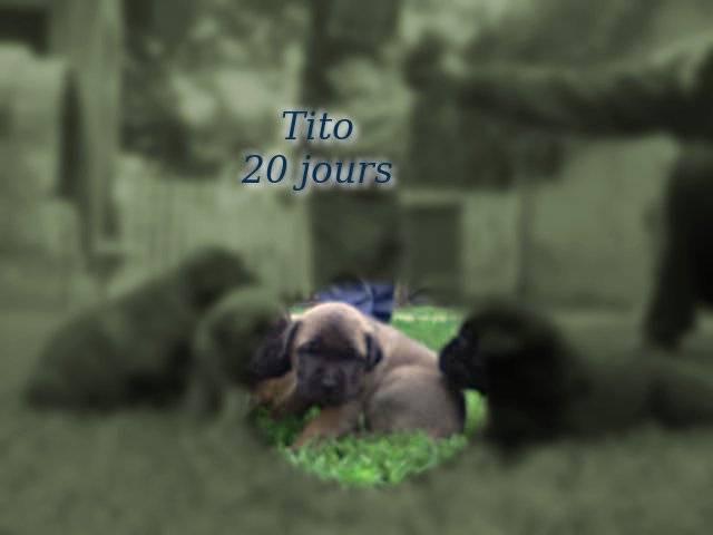 Tito - Chien serbe de défense Mâle (1 mois)