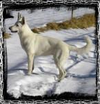 Chien Première neige - Berger Blanc Suisse Femelle (0 mois)