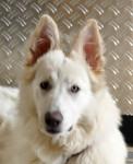 Chien havey - Berger Blanc Suisse Femelle (4 ans et 9 mois)