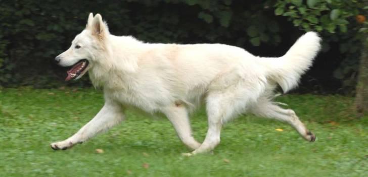 Bella - Berger Blanc Suisse (4 ans)