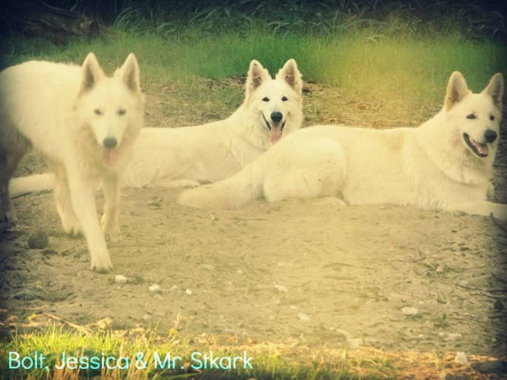 Mr. Stark, Bolt & Jessica - Berger Blanc Suisse (3 ans)