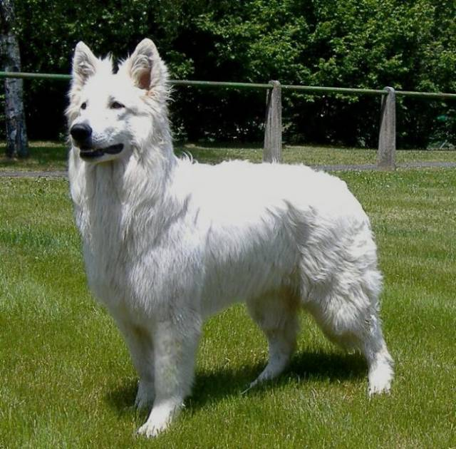 Ice Cool of Haley's Future - Berger Blanc Suisse