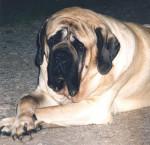 Mastiff - Mastiff anglais
