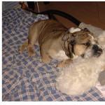 bouledogue Anglais - Mastiff anglais