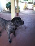 bela - Mastiff anglais (2 ans)