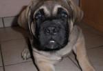 Fibus de La Vallée de l'Armance, 2 mois L.O.F - Mastiff anglais (2 mois)