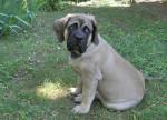 Fibus de la Vallée de l'Armance - Mastiff anglais