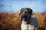 Photo Mastiff anglais