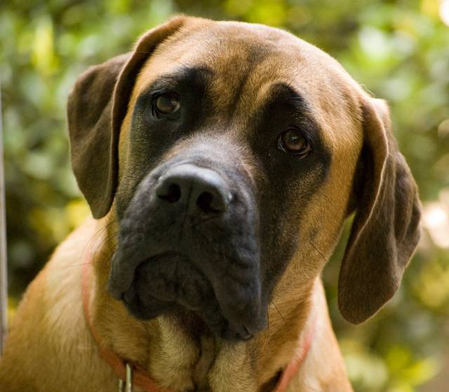 Photo Mastiff anglais