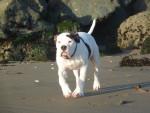 Photo Alapaha Blue Blood Bulldog
