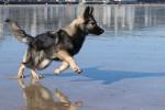 C'haërys - Altdeutscher Schäferhund (1 an)