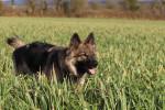 Eltänin - Altdeutscher Schäferhund (4 mois)