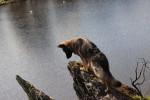 Nymëria - Altdeutscher Schäferhund (1 an et 4 mois)
