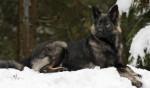 Nouméa - Altdeutscher Schäferhund (2 ans et 3 mois)