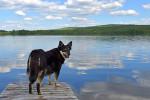 Photo Berger finnois de Laponie