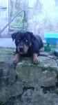 Chien chimuelo - Rottweiler Mâle (1 an)
