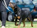 Chien Rottweiler - Rottweiler  (Vient de naître)