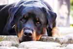 Chien Le Rottweiler - Rottweiler  (Vient de naître)