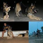 Chien EGOR - Rottweiler Femelle (2 ans)